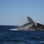 Seeing Southern Right Whales in Puerto Madryn