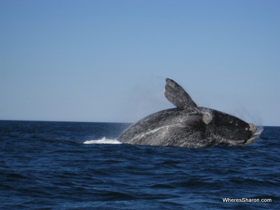 Southern Right Whale in puerto madryn