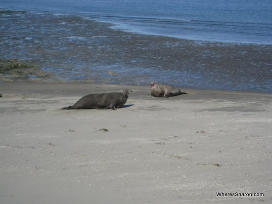 Elephant seals fighting in Puerto Madryn