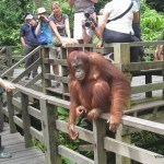 Orangutans up close in Sepilok and Things to do in Sandakan