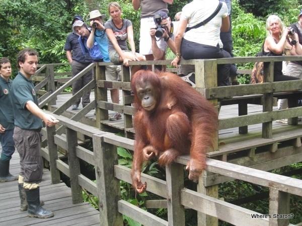 Sepilok Orangutan Rehabilitation Center orangutan