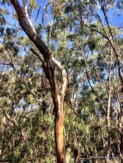 koala in tree at koala conservation centre tree