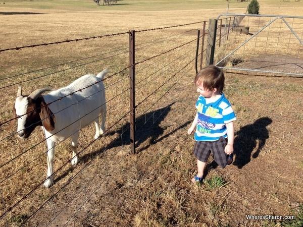 goat at Airbnb farm stay
