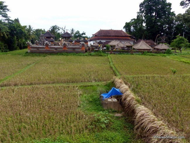 views of rice fields in ubud area