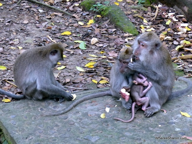 things to do in bali with kids at Sacred Monkey Forest