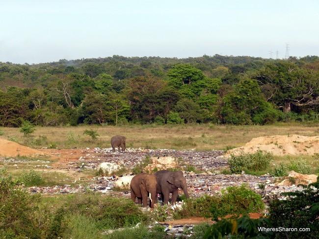 elephants at the tip in Sri Lanka