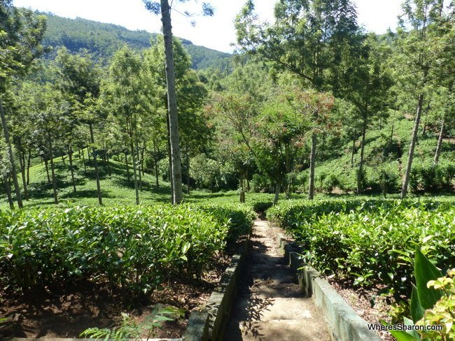 Pedro Tea Estate