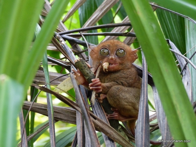 Phillipine Tarsier Sanctuary