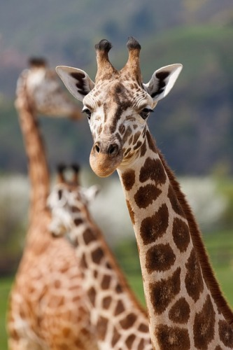 things to do with kids in kenya with giraffes