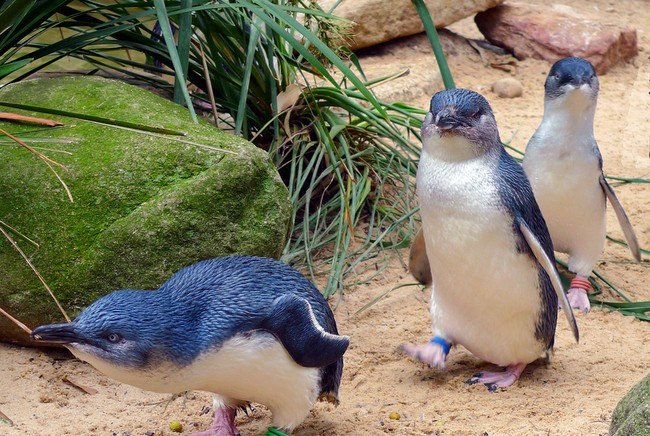 phillip island to do penguins