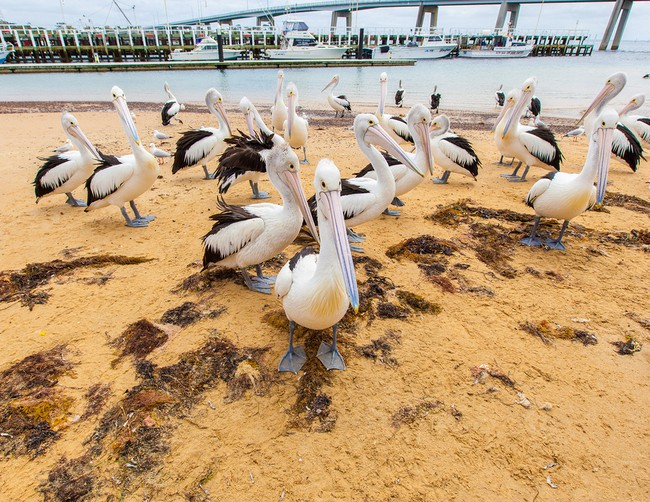 Pelicans at San Remo
