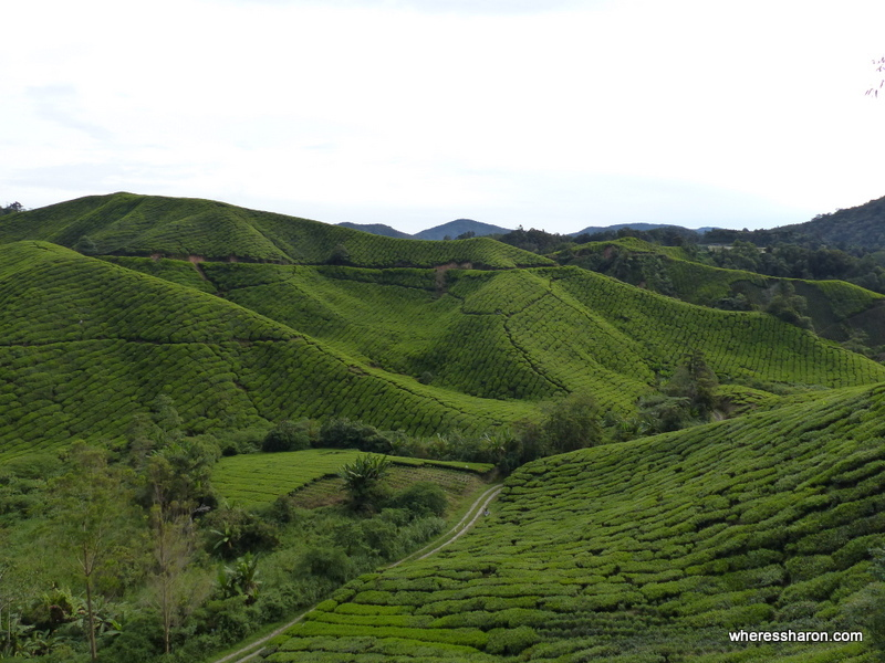 Boh Sungai Telas Tea Estate