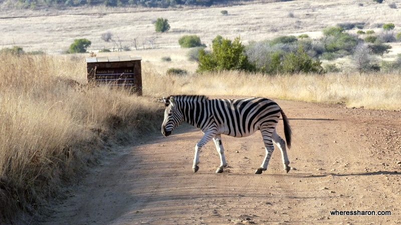Pilanesberg National Park zebra crossing