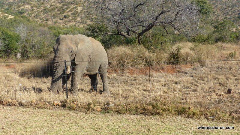 Pilanesberg National Park at ivory tree game lodge